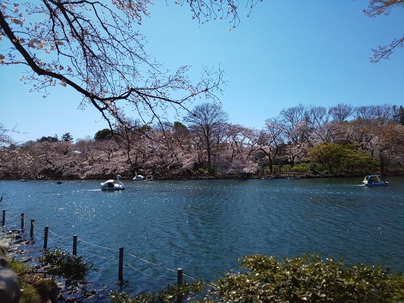 桜の花がきれいな晴れた日の公園